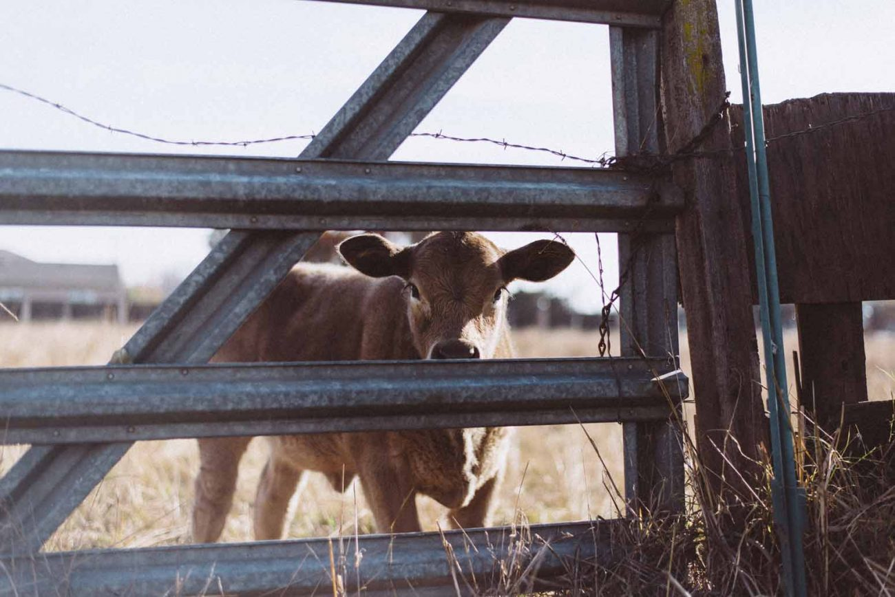 What I Learned About Hospitality From My Cows